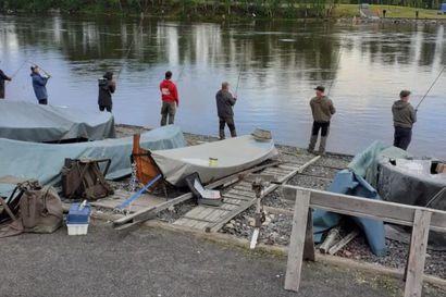 Merijalinranta kuhisee kalastajia Oulussa – lohet molskivat kanavassa ja Hartaanselällä