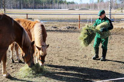 """Ravikipinä on säilynyt jo yli 30 vuotta – """"Jos ei olisi hevosia, mitä minä tekisin?"""""""