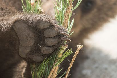 Suloiset karhunpennut leikkivät aivan lähellä kuvaajaa – hellyttävä hetki tallentui videolle