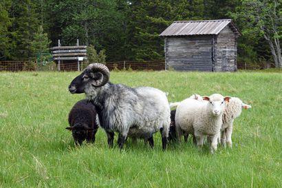 Paimenviikkojen suosio kestää ja Metsähallituksen lisäksi tarjolla on yksityisten yrittäjien lammaspaimenviikkoja – Mitä järjestelyjä vaaditaan paimenien pestaamiseen?