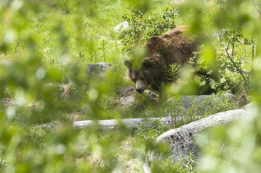 Suurriistan virka-apuryhmä ei löytänyt Kuivasjärveltä selviä karhun jälkiä torstai-iltana. Kuvituskuva ei liity tapaukseen.
