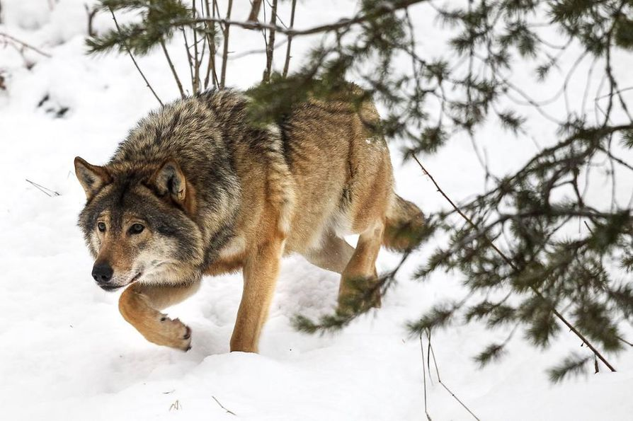 Asiantuntija mukaan susikannassa on tapahtunut paljon muutoksia Pohjanmaalla.
