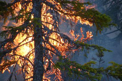 Oulangan kansallispuistoa ennallistetaan keskiviikkona polttamalla vanhaa talousmetsää – poltosta muodostuu runsaasti savua