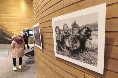 Yrjö Kokko pelasti joutsenet ja valokuvasi tunturien kotaelämää –kuvia on nyt nähtävissä Inarissa