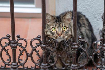 Yhdysvalloissa koronatapauksia kotikissoilla ja eläintarhan kissapedoilla – viranomainen suosittelee turvaväliä myös lemmikeille
