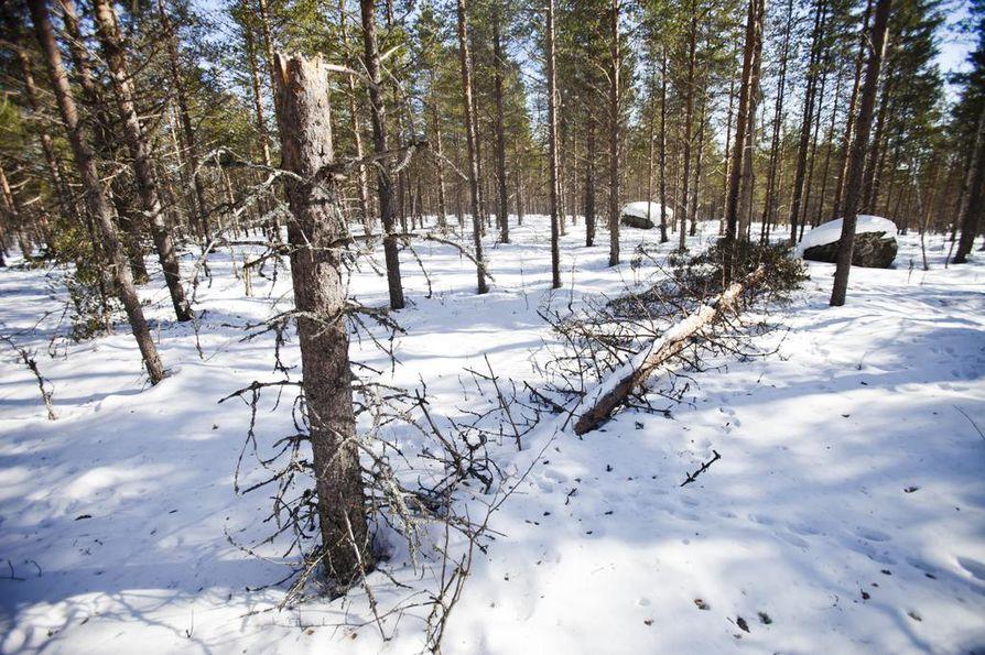 Talvisessa metsässä tykky tekee tuhojaan ja samalla syntyy lahopuuta lukuisille sitä vaativille lajeille.