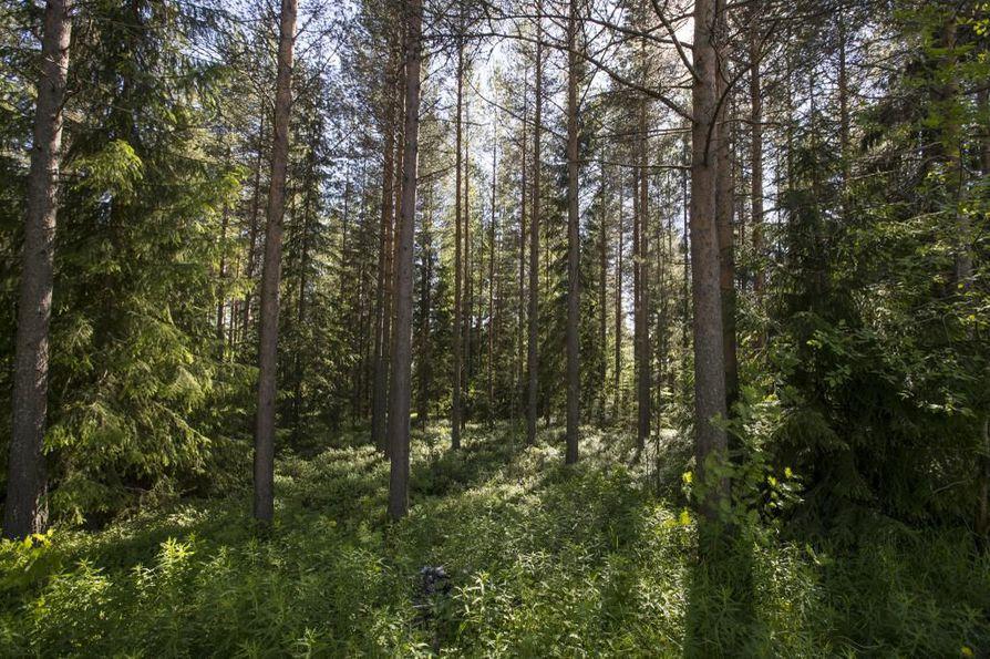 Yksi suurikokoinen puu tuottaa happea kahden ihmisen tarpeisiin.