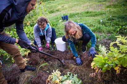 Rovaniemen kaupunkiviljelijät kasvattavat ruokaa keskellä kaupunkia – nyt kerrostalojen välistä nousee kaikkien aikojen perunasato!