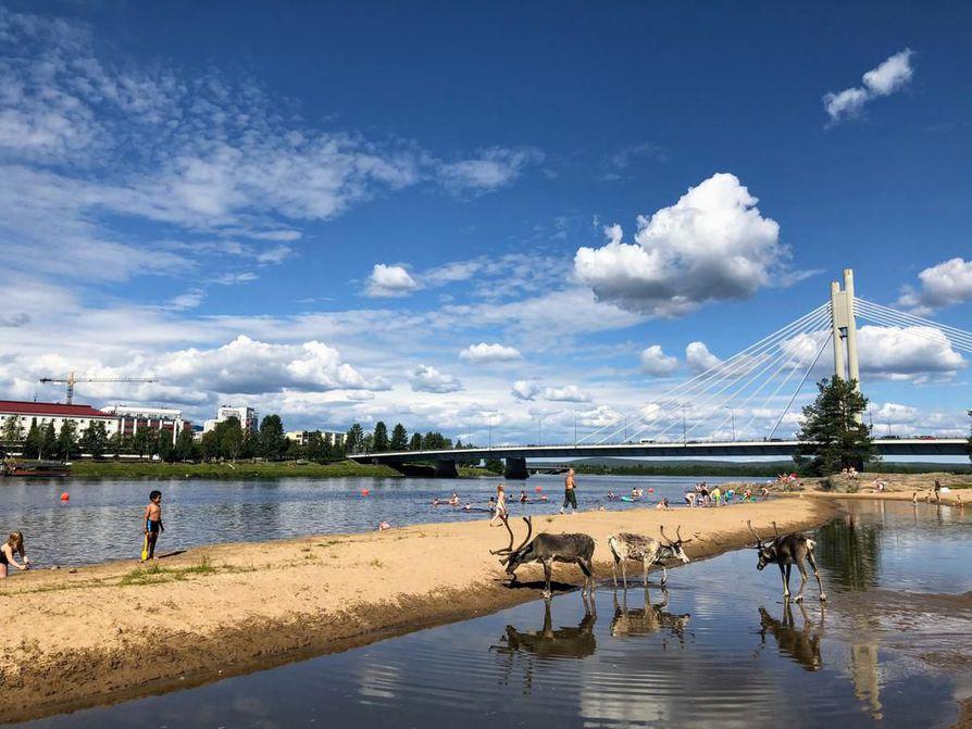 Porot ovat viihtyneet tänä kesänä Rovaniemen keskustan tuntumassa rannalla, vaikka siellä olisi uimareitakin.