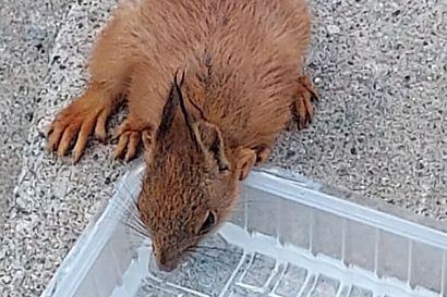 Lukija kuvasi, kuinka janoinen orava löysi vesiastian Korkalovaarassa– eläimille kannattaa tarjota juomavettä