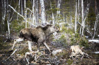 Ministeri Jari Leppä: Kiimarauhoitusaikaa lyhennetään Pohjois-Suomessa – muutos ei ehdi kuitenkaan vielä tälle metsästyskaudelle
