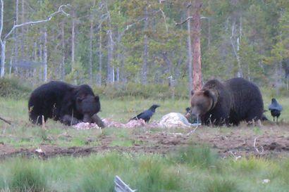 61 karhua kaadettu poronhoitoalueilla – kiintiöistä jäljellä vielä 34