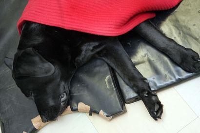 Koiria tappavaa tautia tavattu jo Pohjois-Norjassa – Ruokavirasto varoittaa koirien viemisestä Norjaan
