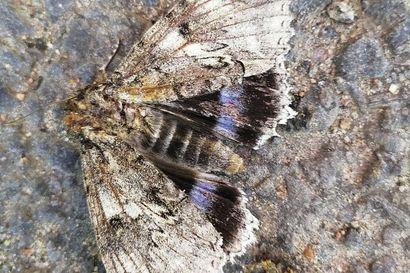 Siniritariyökkösiä harvinaisen runsaasti – suuren ja näyttävän perhoslajin voi löytää kotipihaltaan