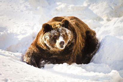 Inarin erämaissa herännyt karhu otti aamupalakseen hirven