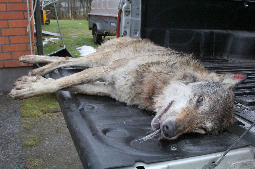 Neljä vuotta sitten Kuhmon Vuosangasta kuolleena löytynyt pantasusi Rilla oli menehtynyt hirven aiheuttamiin vammoihin.