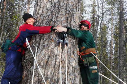 Sylin täydeltä halattavaa – tällaisia kertomuksia ja kuvia lukijat lähettivät suurista puista eri puolilta Lappia