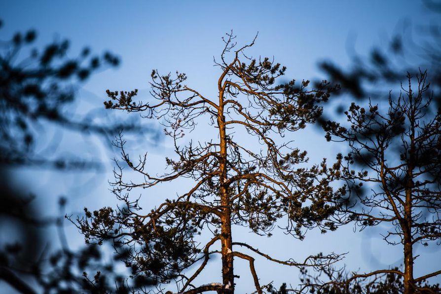 Metso elää sydäntalven männynneulasilla. Hakomapuiden yläoksilta neulaset on paikoin syöty.