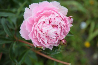 Ideoita hakemaan tai vain kukkaloistoa ihastelemaan –Avoimet puutarhat kutsuvat vieraakseen