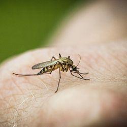 Suomesta on löytynyt hyttyslaji, joka saattaa pystyä levittämään malariaa – hyttysiä löytyi myös Pohjois-Pohjanmaalta