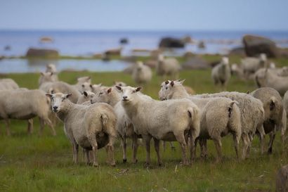 Kaksi sutta tappanut 15 lammasta Limingassa – Tilanne yllätti lampurin ja riistanhoitoyhdistyksen, joiden mukaan Oulun susitilanne on rauhallinen
