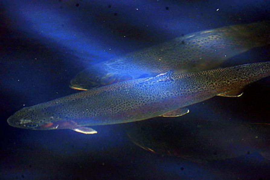 Laitakarin Kalan on tarkoitus kasvattaa Haukiputaan edustalla kirjolohia. Arkistokuva.