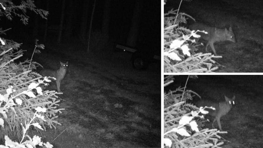 Riistakameran kuvissa Kajaanissa näkyvä eläinyksilö varmistui alkuviikosta kultasakaaliksi. Eläin jäi riistakameraan elokuisena yönä noin kahden aikaan vuonna 2018. Sitä on ihmetelty pitkin matkaa, että mikä ihme eläin tuo voi olla. Nyt asia on selvinnyt! Outo tulokaslaji on käynyt Kainuussa!