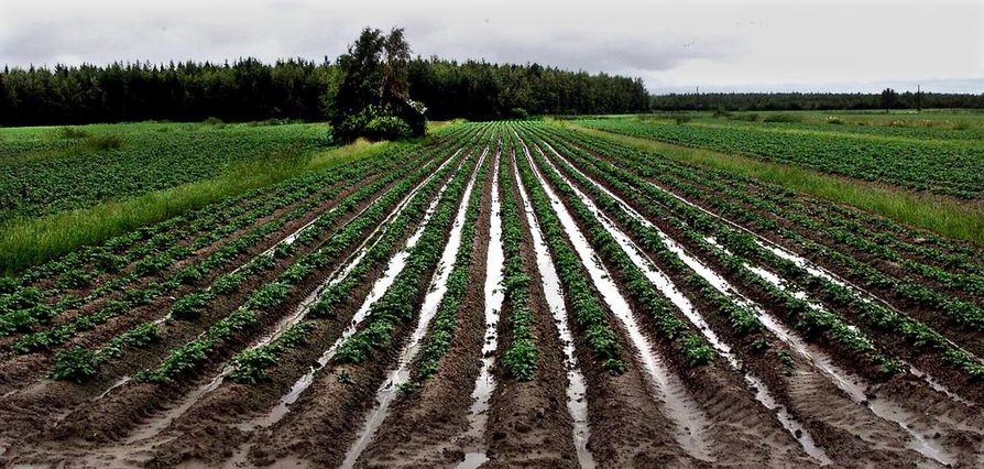 Maatalous on ollut kovilla muun muassa säiden vuoksi. Arkistokuva.