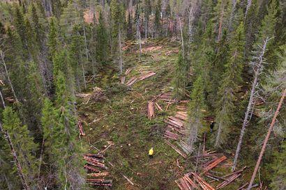 Maanantaina aloitetut hakkuut on keskeytetty Suomussalmella –paikalla on ympäristöjärjestö Greenpeace, metsien suojeluarvojen kartoittajia ja Elokapinan metsäaktivisteja