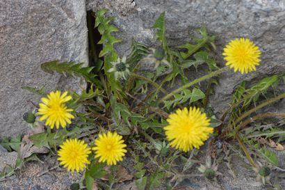 Kalevan kevätseuranta: Keltaisten kukkien aikaa - rentukat koristavat jo rantoja