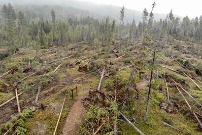 Metsä Group: Paula-myrsky aiheutti metsänomistajille miljoonien eurojen vahingot.