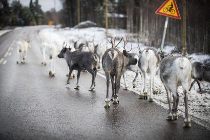 Saamelaiskäräjät: Talvi teki porotuhoja 23 miljoonan euron edestä – toivoo korvausasian käsittelyyn vauhtia