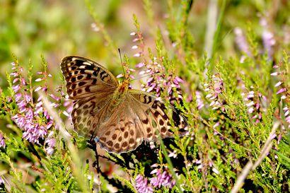 Perhosrintama hiljenemässä loppukesästä ellei vaeltajat vielä yllätä