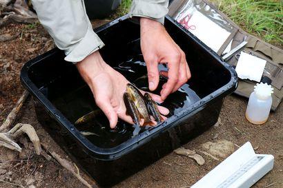 Villien kalojen kanssa risteyttäminen palauttaa laitostuneiden taimenkantojen luontaisia persoonallisuuspiirteitä, kertoo tuore väitöskirja