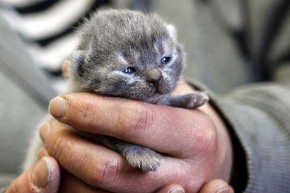 Tuhansia kissoja hylätään Pohjois-Pohjanmaalla vuosittain – korona-ajan lemmikki-innostuksen pelätään  lisäävät laiminlyötyjen eläinten määrää