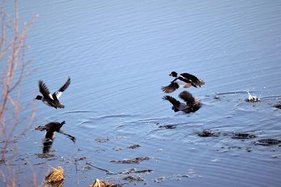 """Birdlife ja Metsästäjäliitto kehottavat maltilliseen vesilintumetsästykseen – """"Kannattaa keskittyä metsästystä hyvin kestäviin lajeihin"""""""