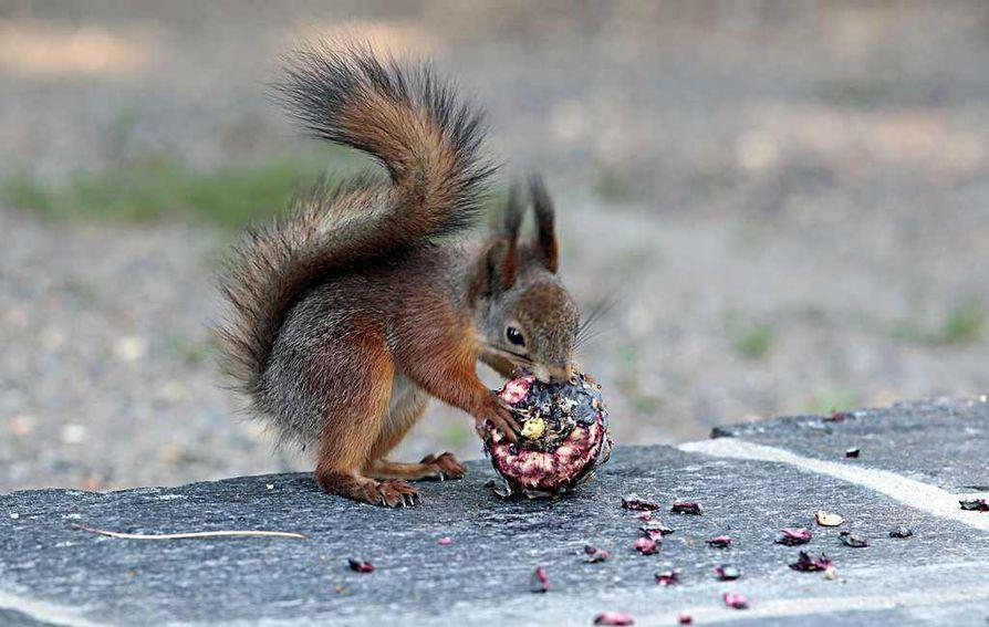 Pelastuslaitoksen mukaan orava pääsi sisään huoneistoon rikkinäisen ikkunan kautta. Kuvan orava ei liity tapaukseen.