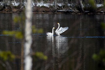 """Näky kuin lintukirjasta vie lintuharrastajaa: """"Luonnosta ei oteta, vaan otetaan vastaan minkä luonto antaa"""""""