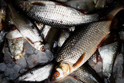 Ennätyssärki painoi 1,42 kiloa – kalastettiin verkolla kuusamolaisesta lammesta