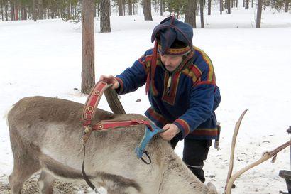 Ajoporon koulutus vaatii lehmän hermot – Poron koulutus kestää jopa kolme vuotta ja 10-vuotiaana ajoporo pääsee eläkkeelle