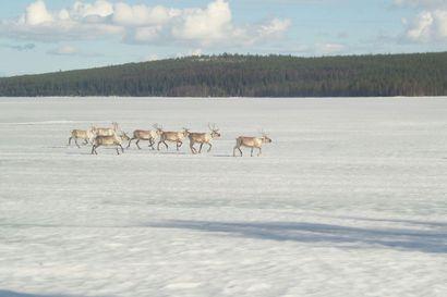 Maa- ja metsätalousministeriö valmistelee lakimuutoksia - koskee myös kala- ja porotaloutta