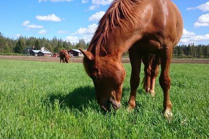 Liikenneturva muistuttaa autoilijoita varovaisuudesta kohdatessaan hevosen tien päällä – seesteinenkin eläin voi säikähtää