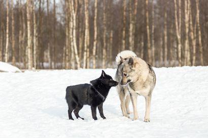 (Kommentti) Vahingoittaako lemmikkisi planeettaamme? Lihapohjaisella kissojen ja koirien ruokavaliolla on merkittävä rooli ilmaston lämpenemisen aiheuttamisessa