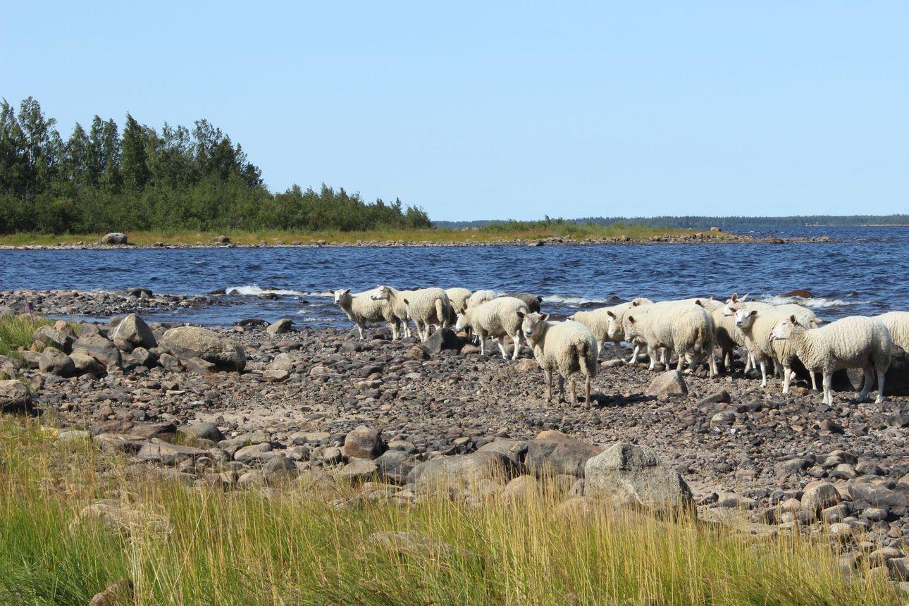 Pensaskarin lisäksi lammaspaimenia tulee Selkä-Sarveen – Halukkaita lammaspaimenia on liki 15 000