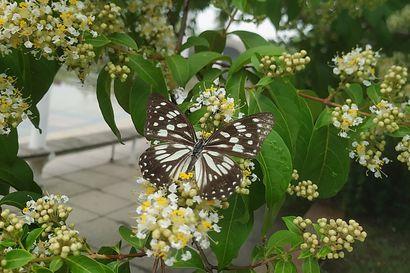 Tutkimus: Perhosen siivistä apua aurinkopaneeleiden kehitystyössä – markkinat ovat valtavat