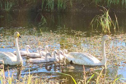 Sankivaaran golfkentällä asustaa seitsemän poikasen joutsenperhe – pelaajat antavat pesueen olla rauhassa