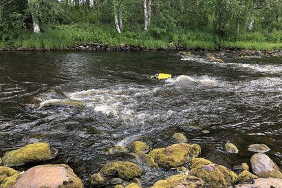 Helikopteri tuo kalojen kutusoraa Livojokeen – raakut inventoitiin uudella menetelmällä