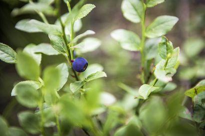 Mustikka kukkii selvästi runsaammin kuin vuosi sitten – kukkahavaintojen perusteella hyvä sato on mahdollinen