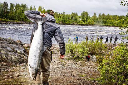 Lähes 80000 lohta uinut Kattilakosken ohi – Tornionjoella tulee kolmanneksi paras kesä lohennousussa