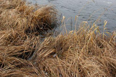 Iijokeen puoli miljoonaa poikasta – vastakuoriutuneita meritaimenia ja lohia